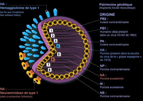 http://lespacearcenciel.free.fr/virus-H1N1.jpg